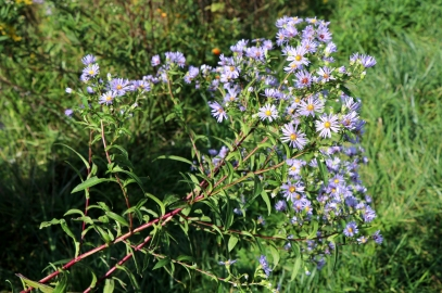 Purple stemmed aster: September, by a stream
