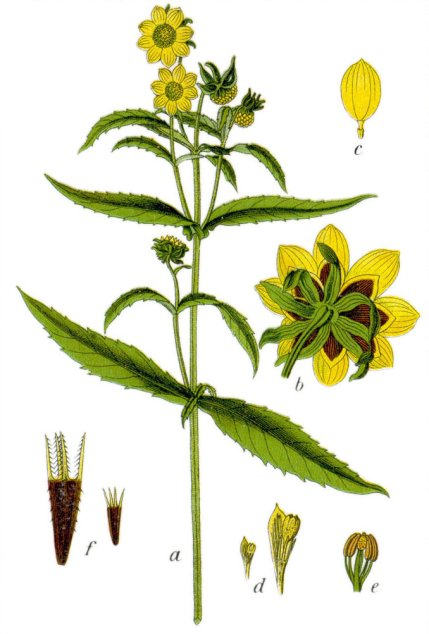 """Bidens cernua Sturm18"" by Johann Georg Sturm (Painter: Jacob Sturm) - Figure from Deutschlands Flora in Abbldungen at http://www.biolib.de. Licensed under Public Domain via Commons - https://commons.wikimedia.org/wiki/File:Bidens_cernua_Sturm18.jpg#/media/File:Bidens_cernua_Sturm18.jpg"