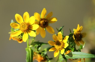 Nodding Bur Marigolds
