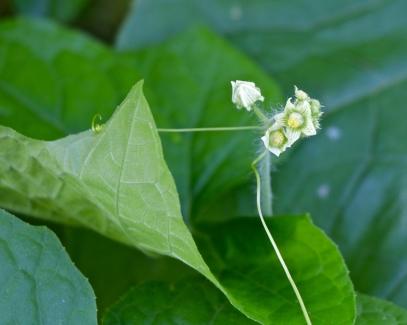 Tendrils reach and grab as the plant seeks to climb toward the sun