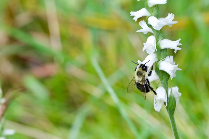Nodding Ladies Tresses and a busy bumble bee pollinator