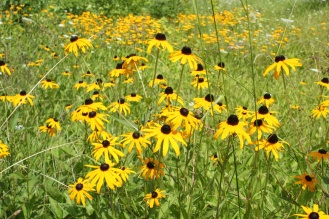 Rudbeckia growing along the road at Glen Alton (Big Stony Creek area)