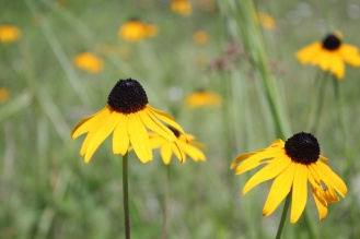 Common names include coneflower, orange coneflower and black-eyed susan