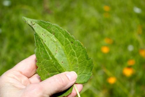 Leaves of Rudbeckia fluid