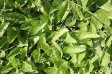 Rudbeckia leaves. Probably R. fulgida