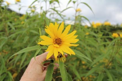 Sawtooth Sunflower