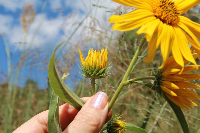 Maximilian's Sunflower: pointy bracts behind the flower heads