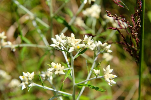 "Sweet Everlasting: a branched flower stalk bearing clusters of small white ""budlike"" flowers"