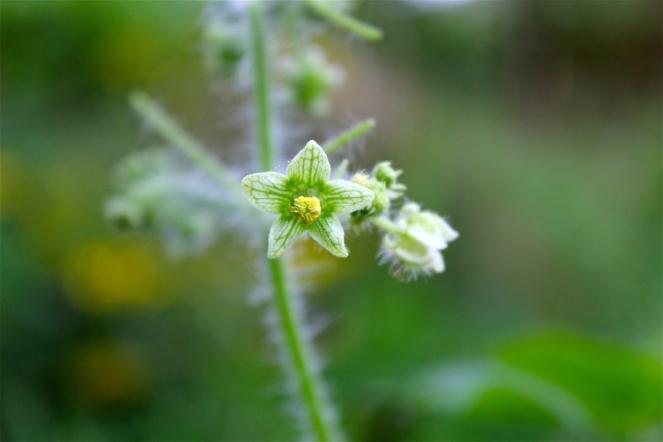 Greenish-white flowers, hairy stems