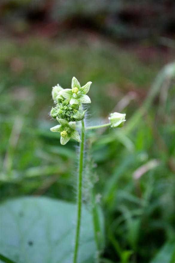 Flower of Bur Cucumber