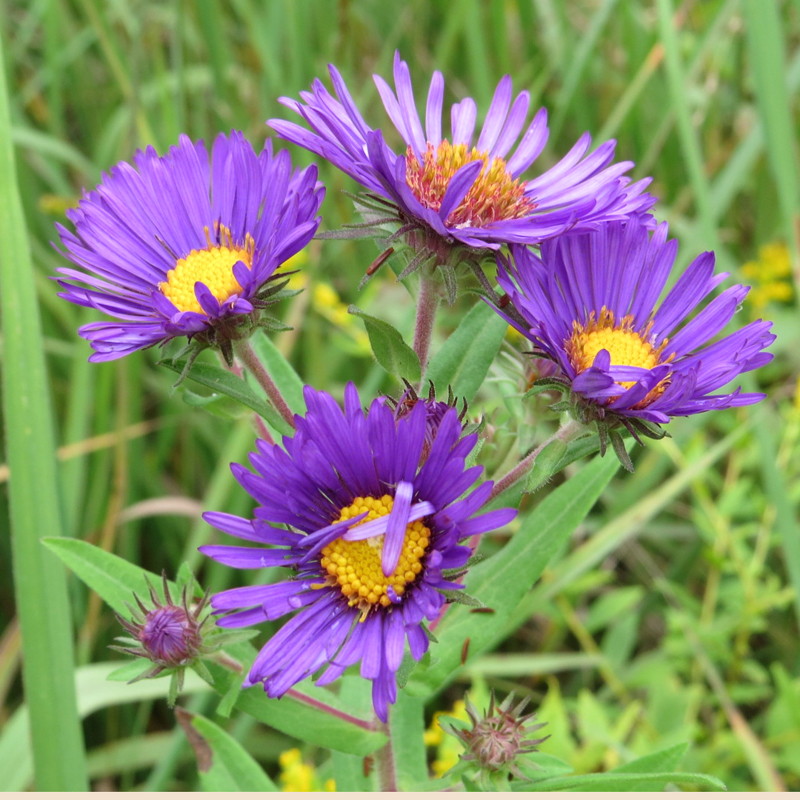 New England Aster: photo by Brian Murphy