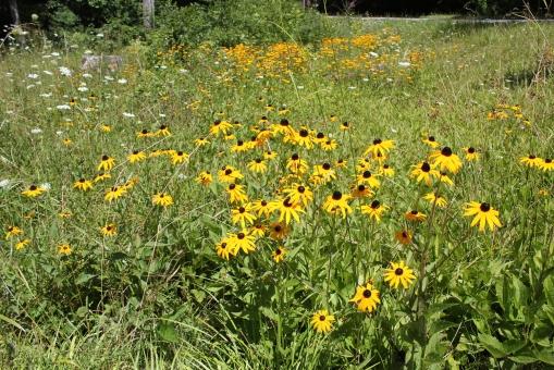 Rudbeckia growing along the roadside near Glen Alton