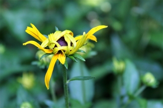 An unfurling Black-eyed Susan