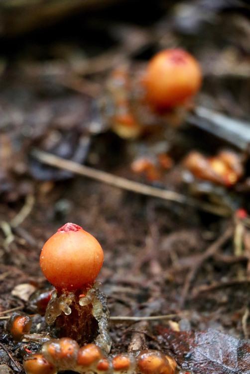 Gelatinous Stalked Puffball (Hot Lips) Calastoma cinnabarina