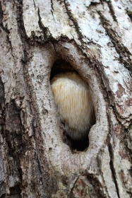 Lion's Mane in a hole in an oak tree; November
