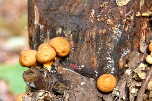 Found growing on a dead tree stump Oct. 31st at Pandapas