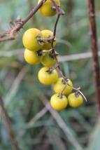 Ripening fruit of Horse Nettle