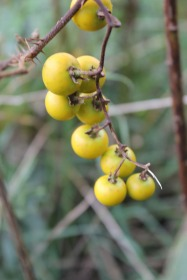Ripening fruit of Horse Nettle