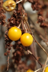 Horse nettle bears tomato-like fruits that turn yellow in fall; these were photographed in November