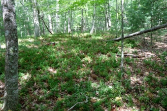 A stand of Prince's Pine near Pandapas Pond in Montgomery County