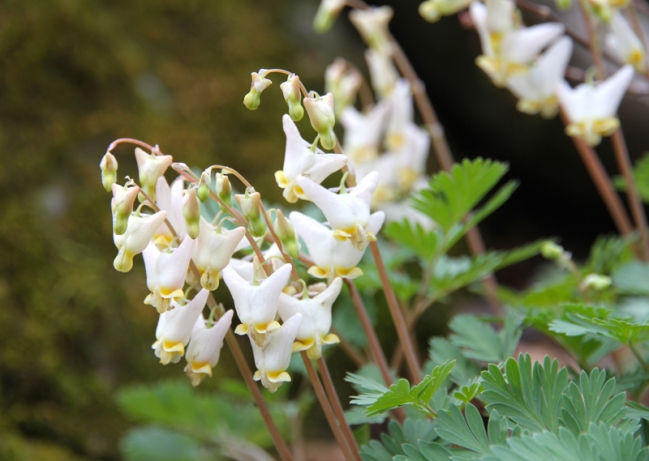 Dutchman's Breeches