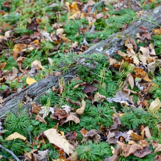 Ground Cedar