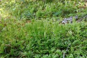 Ground Cedar in late summer at Glen Alton