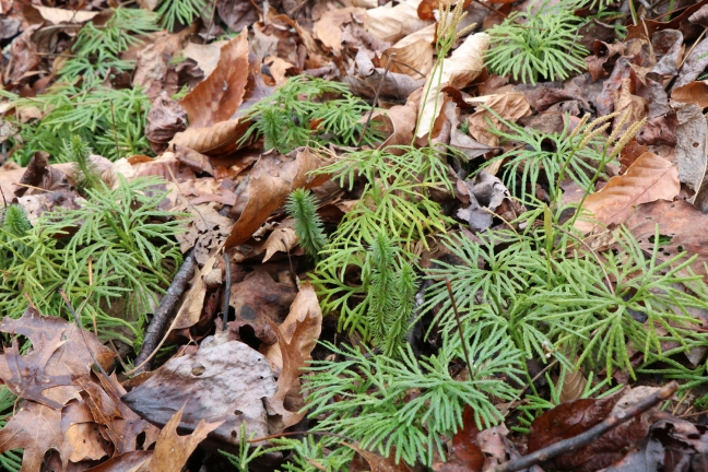 Shining Clubmoss with Ground Cedar