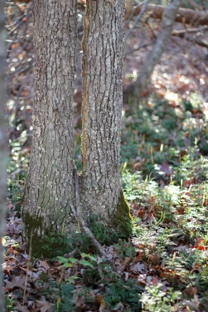 Prince's Pine surrounds a tree near the Pandapas Pond area
