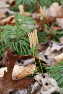 Winter-dried strobili