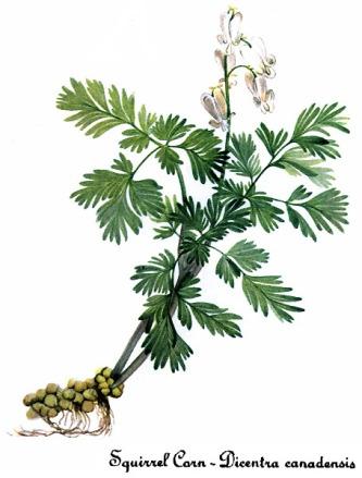 By Mary Vaux Walcott - Southwest School of Botanical Medicine