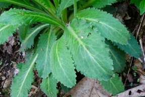 The leaves of Mountain Lettuce are oblong toothed, and gradually taper to a winged petiole