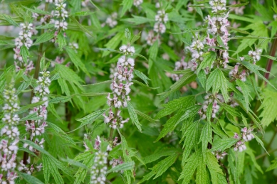 Motherwort leaves and flowers