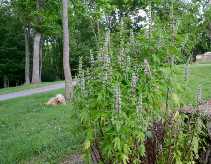 Motherwort: can grow four to five feet in height