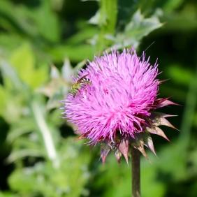 Male Ultragreen Sweat Bee
