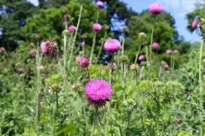 Nodding Thistle or Musk Thistle