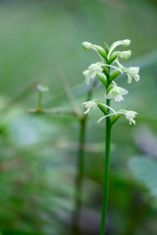 Small Green Woodland Orchid-lower lip has three lobes