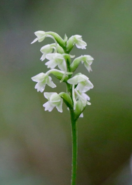 Small Green Woodland Orchid