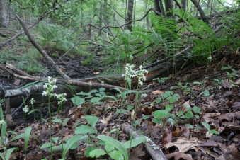 Habitat: moist places; bogs, forested stream sides