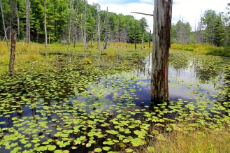 "Habitat: a ""marshy"" pond at Glen Alton"