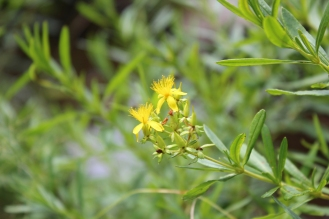 Bushy St. Johnswort was growing nearby