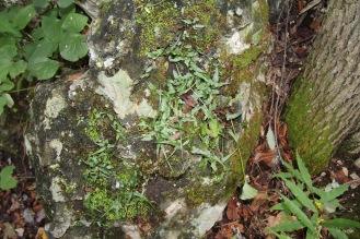 Walking fern on limestone