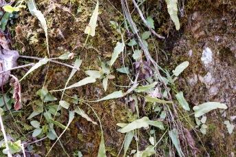 Walking Fern growing alongside moss on a limestone outcropping at Falls Ridge Nature Preserve