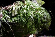 "A ""vegetative colony"" of walking fern"