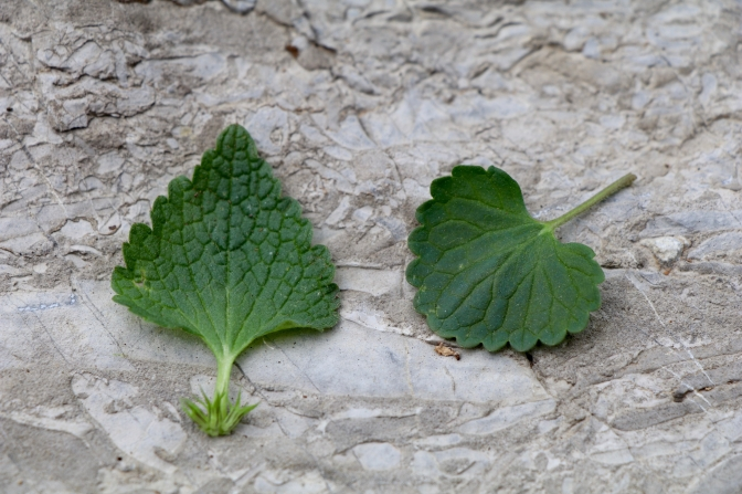 Compare the leaves: heart-shaped purple dead nettle on the left, round or kidney-shaped gill-over-the-ground on the right.