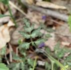 Pinnate leaf of Purple Phacelia