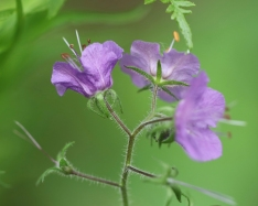 Purple Phacelia: Hairy Stems, five sepals