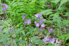 Purple Phacelia: loose clusters of flowers at the top of the plant