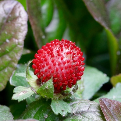Fruit of Mock Strawberry