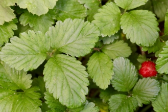 Leaves of Mock Strawberry are trifoliate